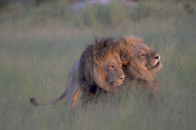 MANDATORY CREDIT: Nicole Cambre/Rex Shutterstock. Only for use in this story. Editorial Use Only. No stock, books, advertising or merchandising without photographer's permission Mandatory Credit: Photo by Nicole Cambre/REX/Shutterstock (5635545e) The two lions appear to affectionately nuzzle Male lions copulating, Botswana - 28 Mar 2016 FULL COPY: http://www.rexfeatures.com/nanolink/s7l4 A photographer has captured a literal gay pride on camera. Nicole Cambré, a lawyer from Brussels, snapped two male adult lions getting more than affectionate last month (March). She explains: